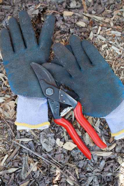 Hand pruners and gardening gloves used to prune out bacterial canker in cherry tree