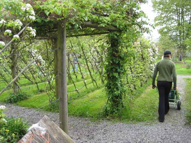 Apple trees supported by trellises to for an espalier planting in a community orchard in Vancouver | Community orchard
