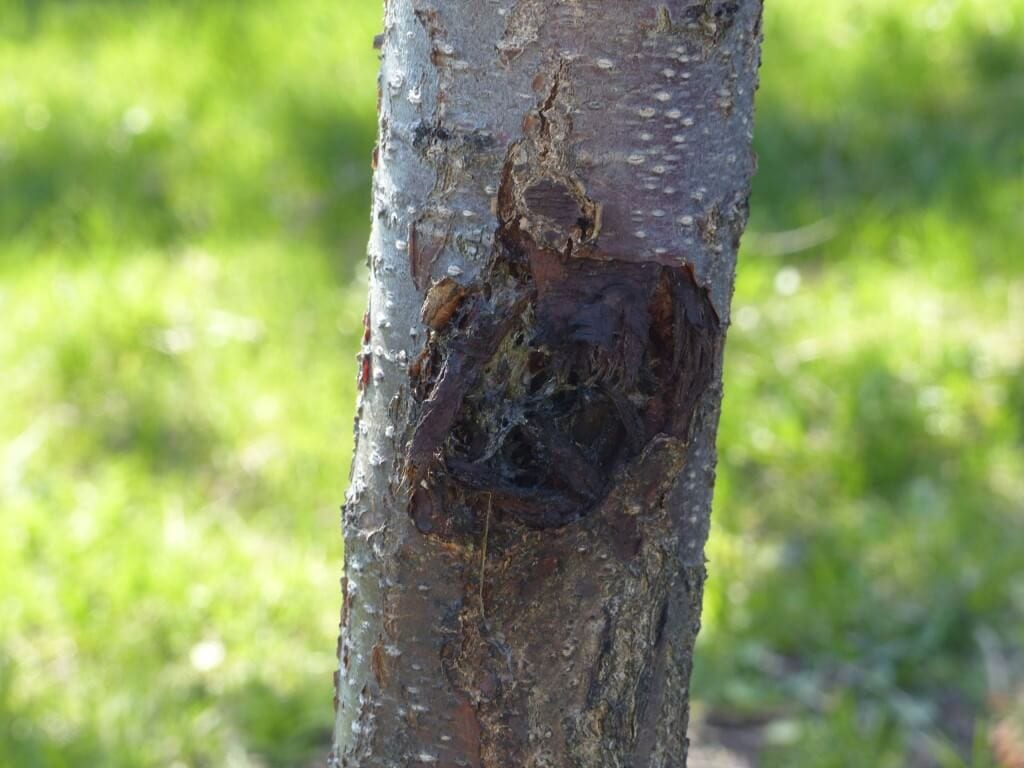 Canker on the trunk of an apricot tree