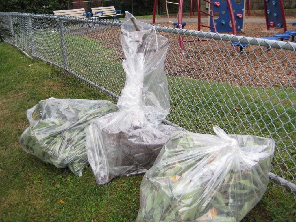 Plastic garbage bags containing cherry tree branches that were infected with bacterial canker.